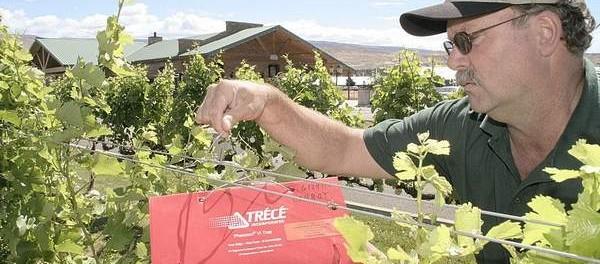 Wine Grape Pests